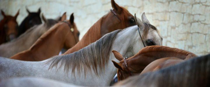 chevaux dans un Haras